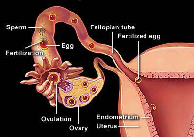 diagram of fallopian tube ovary zygote how tubal blockage and hydrosalpinx affect your fertility ... #4